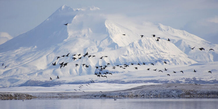 Pacific black brant fly past Mount Dutton over the Izembek Lagoon in the Izembek National Wildlife Refuge in Alaska's Aleutian Islands, in this U.S. Fish and Wildlife Service (USFWS) picture taken November 7, 2008.  A federal judge has upheld a decision by the U.S. government to protect Alaska's Izembek National Wildlife Refuge, blocking a proposed 10-mile (16-km) gravel road linking an Aleutian Islands fishing community to an all-weather airport for medical evacuations. Picture taken November 7, 2008.   REUTERS/Kristine Sowl/USFWS/Handout via Reuters  THIS IMAGE HAS BEEN SUPPLIED BY A THIRD PARTY. IT IS DISTRIBUTED, EXACTLY AS RECEIVED BY REUTERS, AS A SERVICE TO CLIENTS. FOR EDITORIAL USE ONLY. NOT FOR SALE FOR MARKETING OR ADVERTISING CAMPAIGNS
